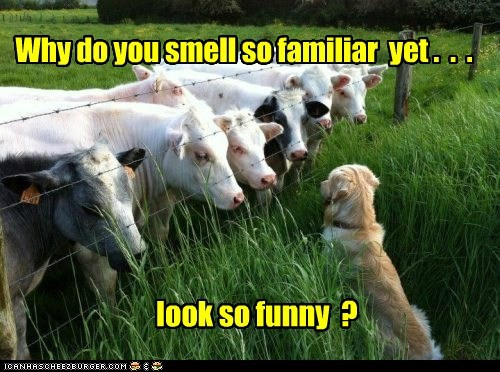 Beef,confused,cows,dogs,familiar,funny looking,smell