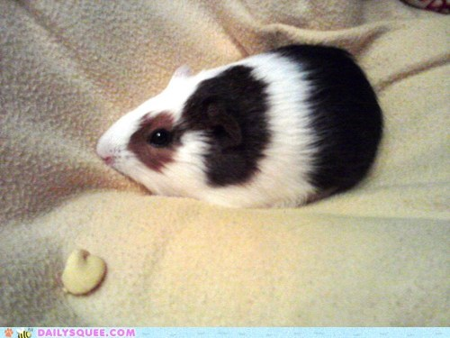 blanket chubby guinea pig pet reader squee snack - 6516198400