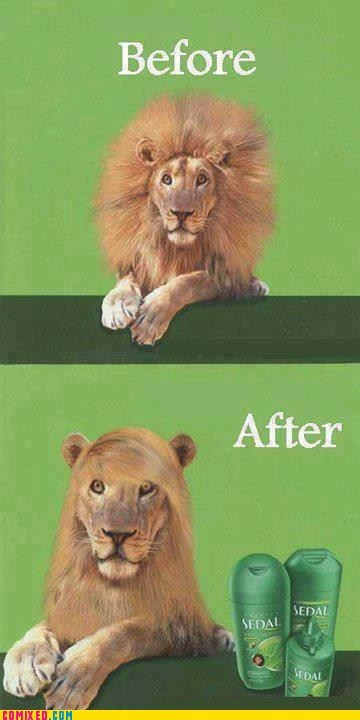 Before And After,hair,lion,shampoo