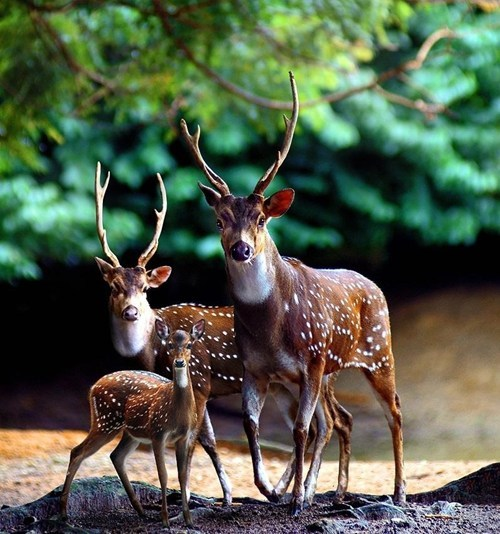 squee deer fawn antlers family reunion - 6516491776