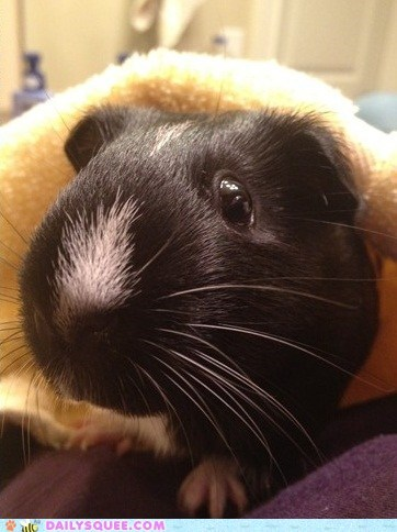 bath guinea pig pet reader squee towel whiskers - 6516729344