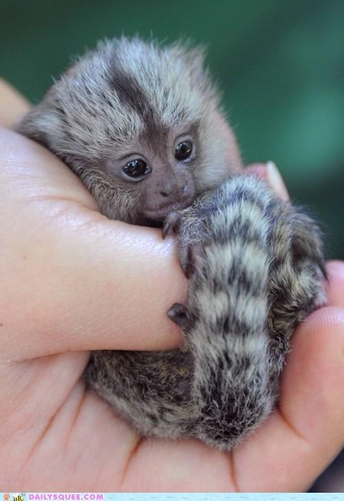 cute floofy monkey pygmy marmoset squee tail tail. tiny - 6516858368