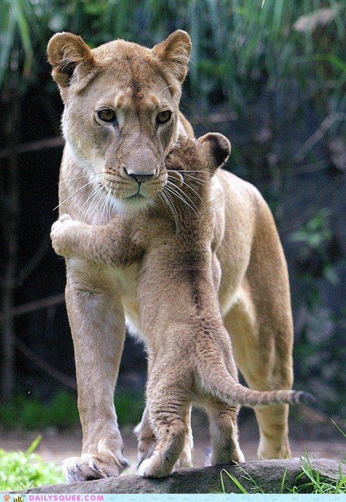 lioness lions baby cub mommy squee hug - 6516998912