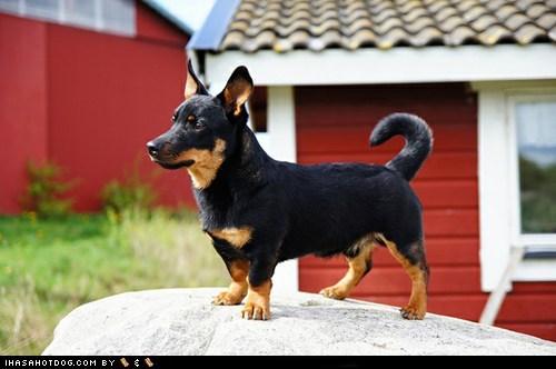 dogs face off goggie ob teh week lancashire heeler - 6517188864