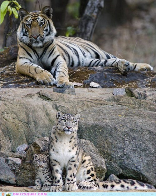 big cats,face off,snow leopard,squee spree,tiger,versus