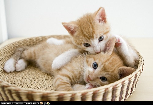 baskets,Cats,cyoot kitteh of teh day,ears,kitten,nibbling,orange,two cats