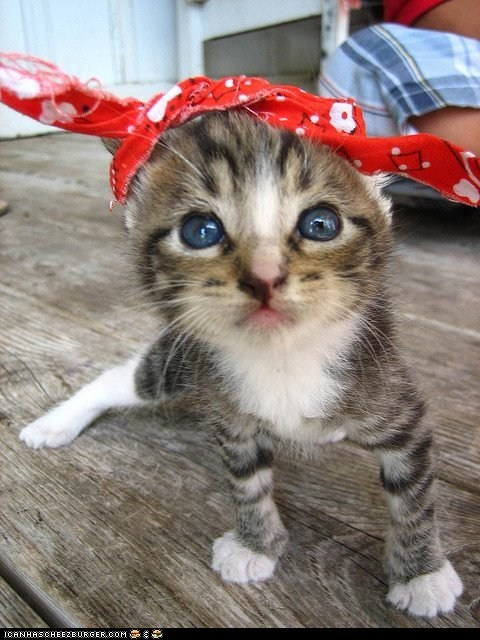 bandanas,Cats,cyoot kitteh of teh day,gangs,gangsta,kitten