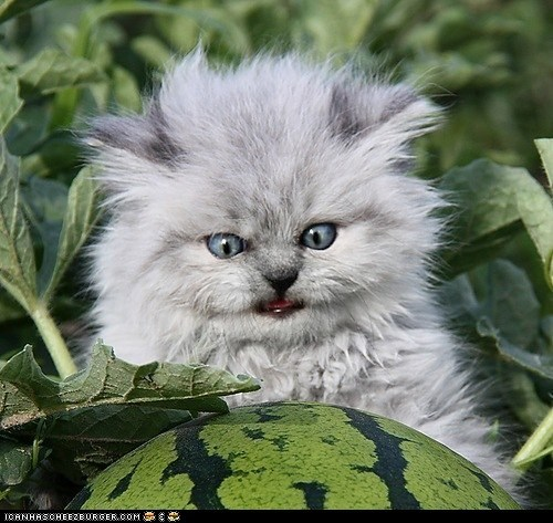Cats,cyoot kitteh of teh day,derp,Ermahgerd,kitten,watermelons