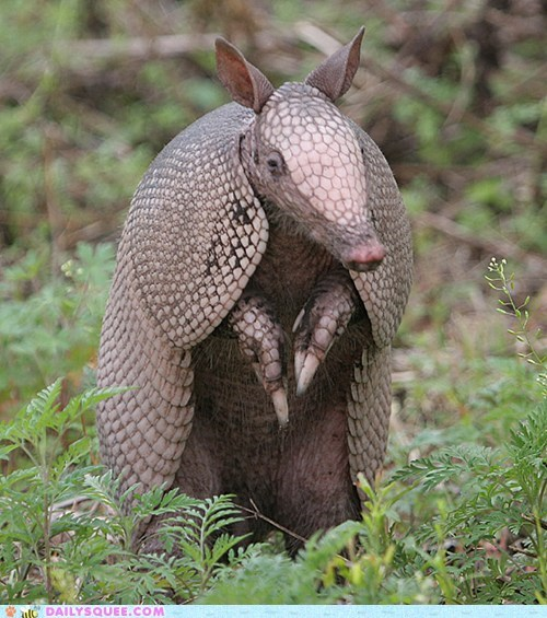 armadillos,armor,leathery,rolling,squee spree
