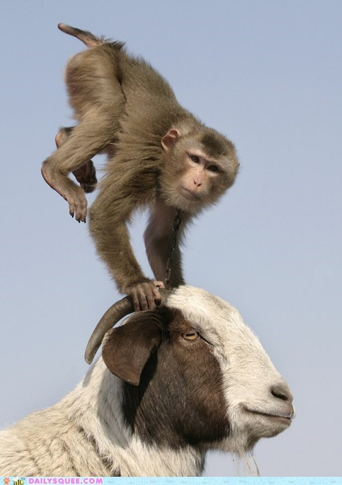 goat,gymnastics,monkeying around,monkey,squee