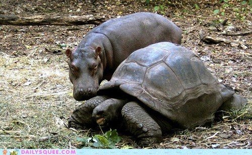 hippopotamus,Interspecies Love,shell,tortoise,turtle