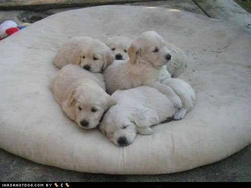 cuddle puddle cyoot puppy ob teh day dogs golden retriever pile puppy - 6520013312