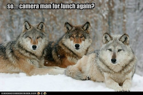 bored,camera man,eating,food,lunch,tired of it,wolves