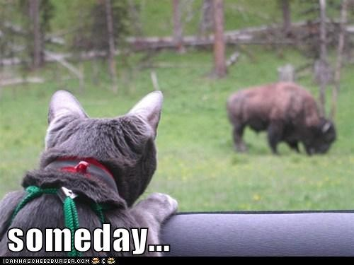 anticipation,buffalo,cat,dinner,food,hungry,Staring