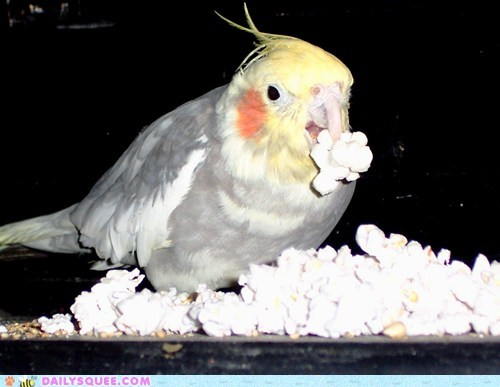 bird,cockatiel,nom,pet,Popcorn,reader squee,snack