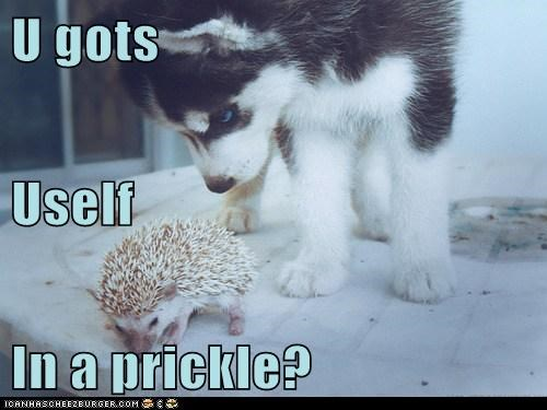 annoyed dogs hedgehog help pickle prickle problem pun - 6522928384