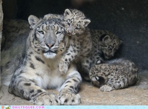 baby big cat cub Fluffy mommy snow leopard squee spree winner
