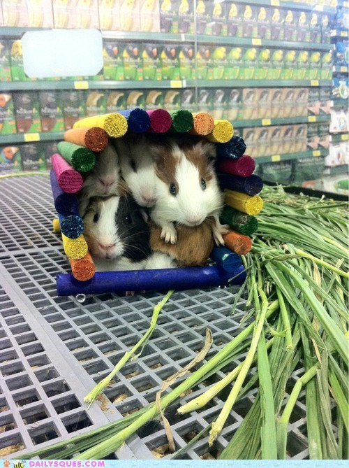 popular house guinea pig Party crowded pet squee - 6527179008