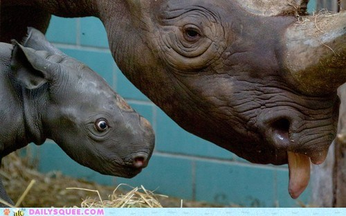 Babies rhino rhinoceroses horns mommy squee