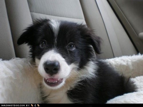 blanket border collie car cyoot puppy ob teh day dogs puppy - 6527324160