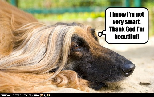 afghan dog beautiful dogs dumb - 6528400384