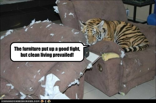 cat chair destroyed fight scratched tiger - 6531396608