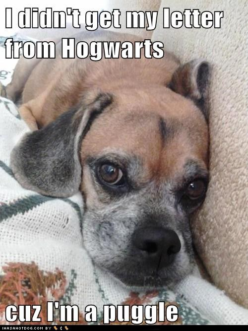 captions,dogs,Harry Potter,Hogwarts,muggles,puggle,sad dog