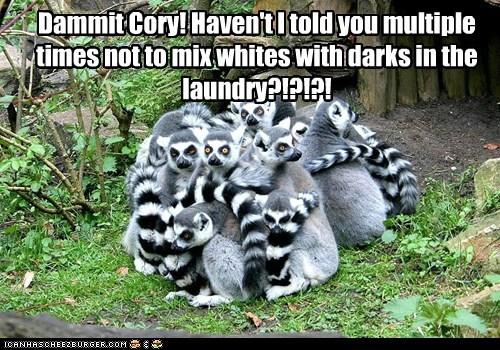 again dammit laundry lemurs - 6531973888