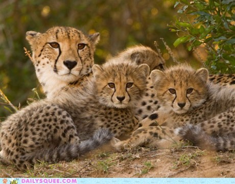 big cat cheetah cubs Video wildlife - 6532011264