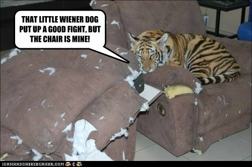 chair fight mine tiger wiener dog winner - 6532242944