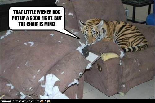 chair fight mine tiger wiener dog winner - 6532242944