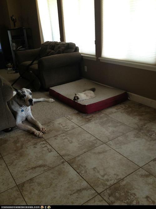 beds Cats dog beds goggies r owr friends great danes Interspecies Love pets unfair - 6532277504