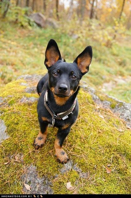 dogs,ears,goggie ob teh week,lancashire heeler,moss,rock