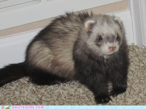diva,ferrets,glamour shots,pet,reader squee