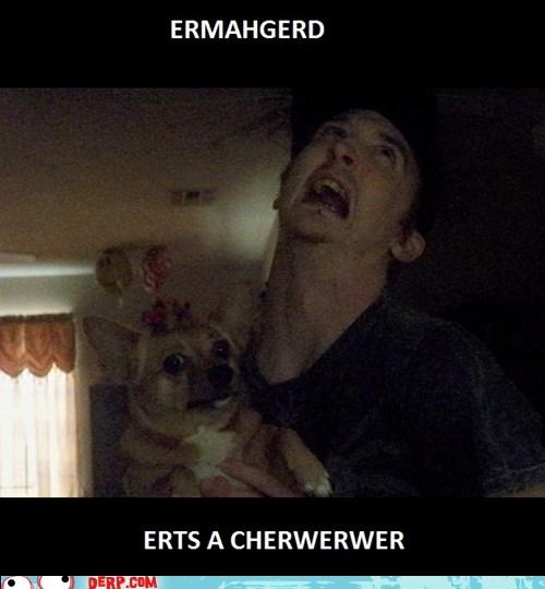 chihuahua,dogs,Ermahgerd,goggie
