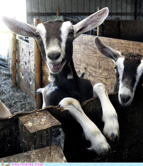 goats unphotogenic picture squee say cheese derp barn - 6533034240