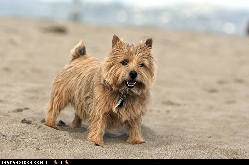 dogs face off goggie ob teh week norwich terrier versus