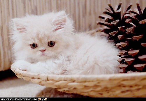 albino,baskets,Cats,cyoot kitteh of teh day,kitten,pinecones,white
