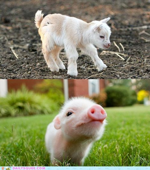 face off farm animals goat kid pig piglet squee spree versus - 6535600640