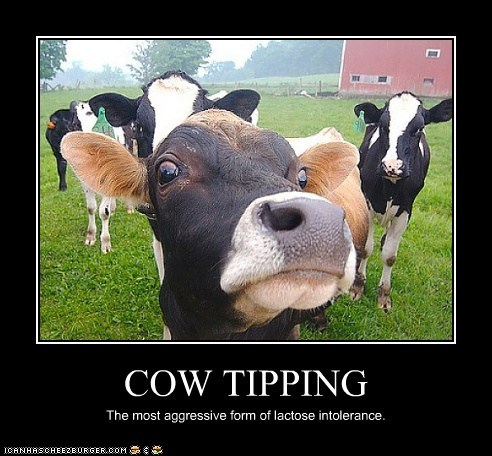 aggressive cow tipping cows intolerance lactose intolerant psa - 6541557248