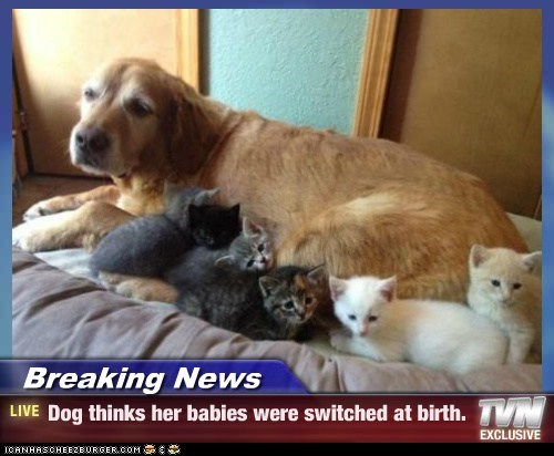 Babies,Breaking News,dogs,golden retriever,kitten,switched at birth