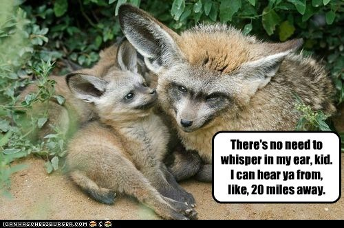 bat-eared foxes,big ears,hearing,miles,no need,whisper