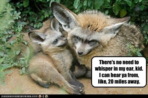 bat-eared foxes big ears hearing miles no need whisper - 6543113216