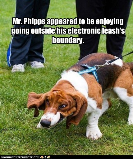 Mr. Phipps appeared to be enjoying going outside his electronic leash's boundary.