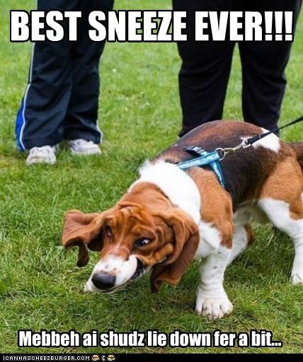 basset hound derp dogs floppy shaking slobber sneeze - 6544237056