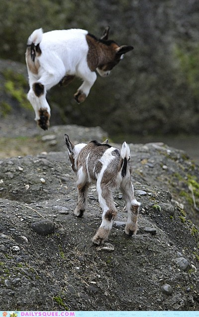 baby goats jumping kids squee spree winner - 6544894208