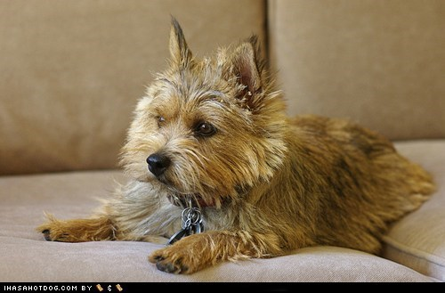 dogs goggie ob teh week norwich terrier sofa winner
