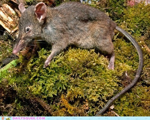 moss mouse rat rodent tail whatsit wednesday - 6545010944