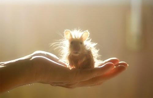 back-lit hamster,morning fluff