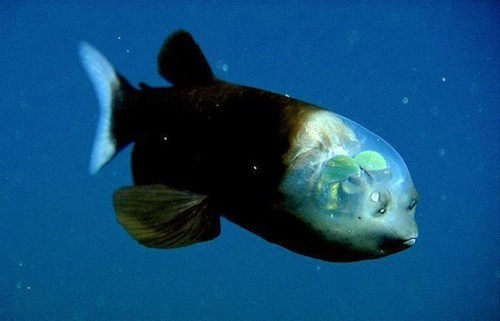 animals,biology,deep sea,fish,ocean life,pacific barreleye